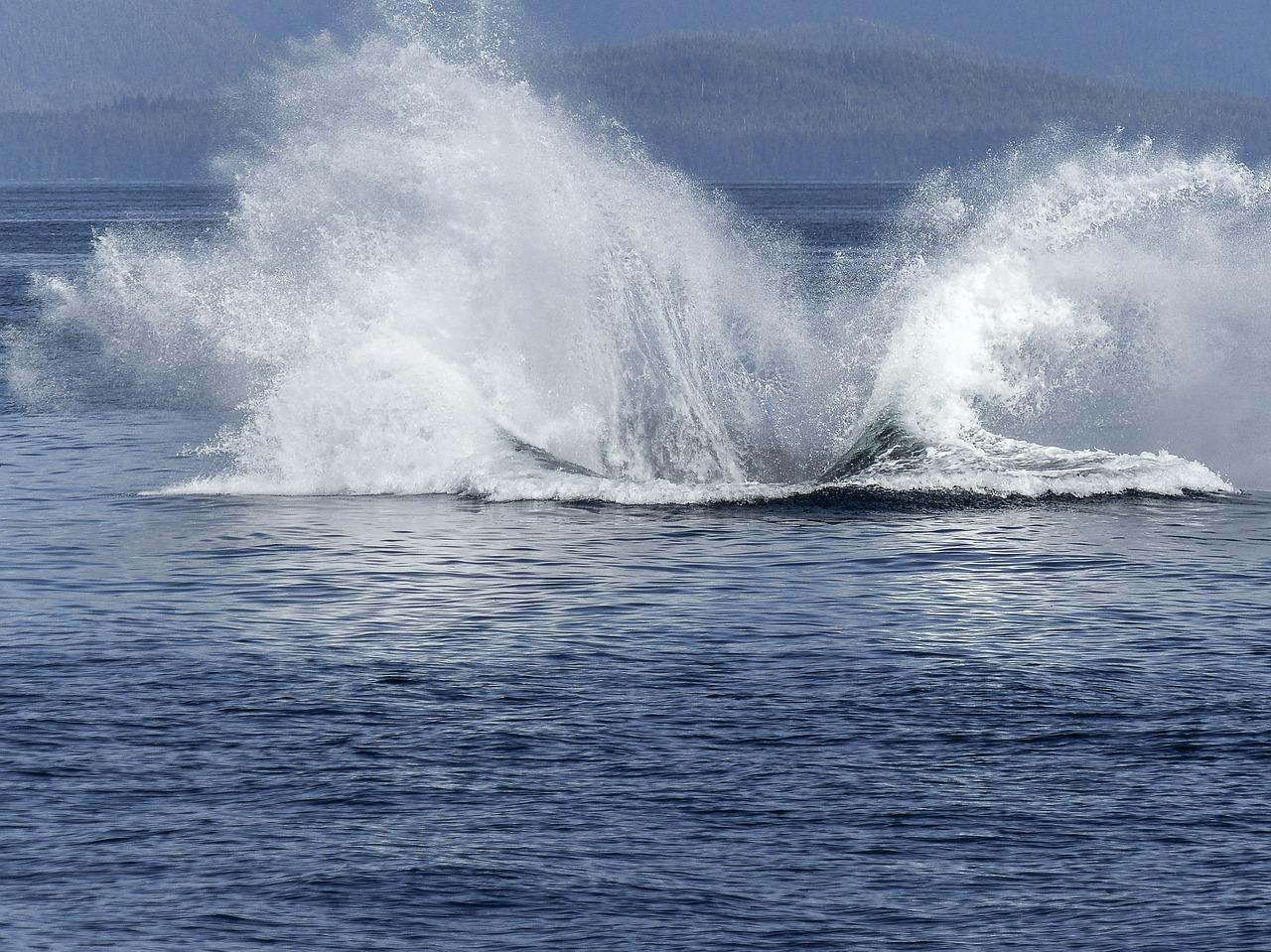 humpback-whale-ins wasser fallen lassen